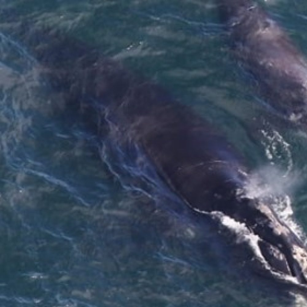 Canada – How tiny zooplankton could help protect endangered right whales