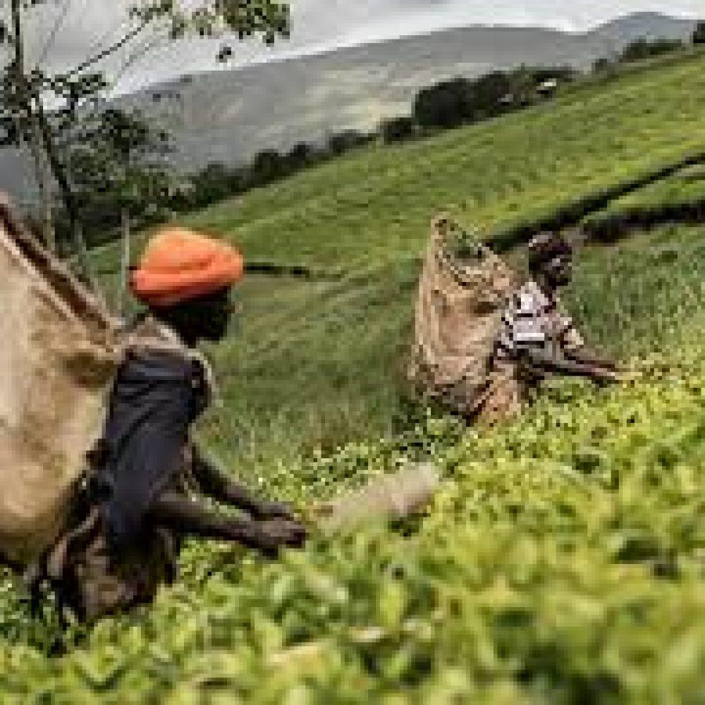 AFRIQUE-République Démocratique du Congo (RDC): découverte d'un engrais capable de fertiliser le sol pendant 400 ans